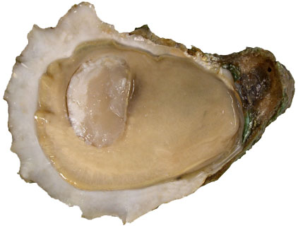 A beaut. Creamy oyster meat fills out a pretty shell. A condition index for the oyster meat is used to discern overall health and potential effects of environmental conditions. The index looks for opaque, creamy to tan meat that fills the cup of the shell.