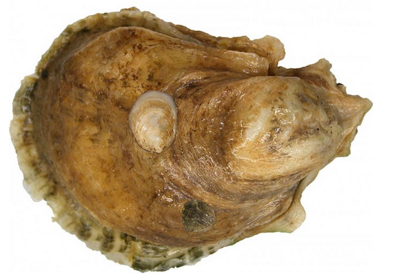 oyster with spat